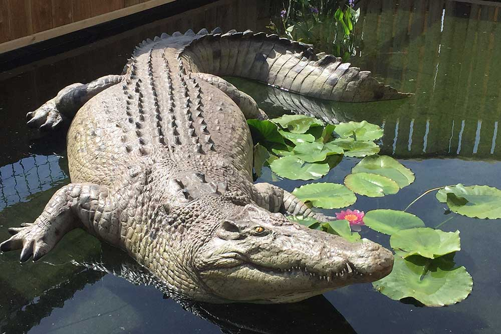 Crocodile at Jungle Falls in Adventure Wonderland