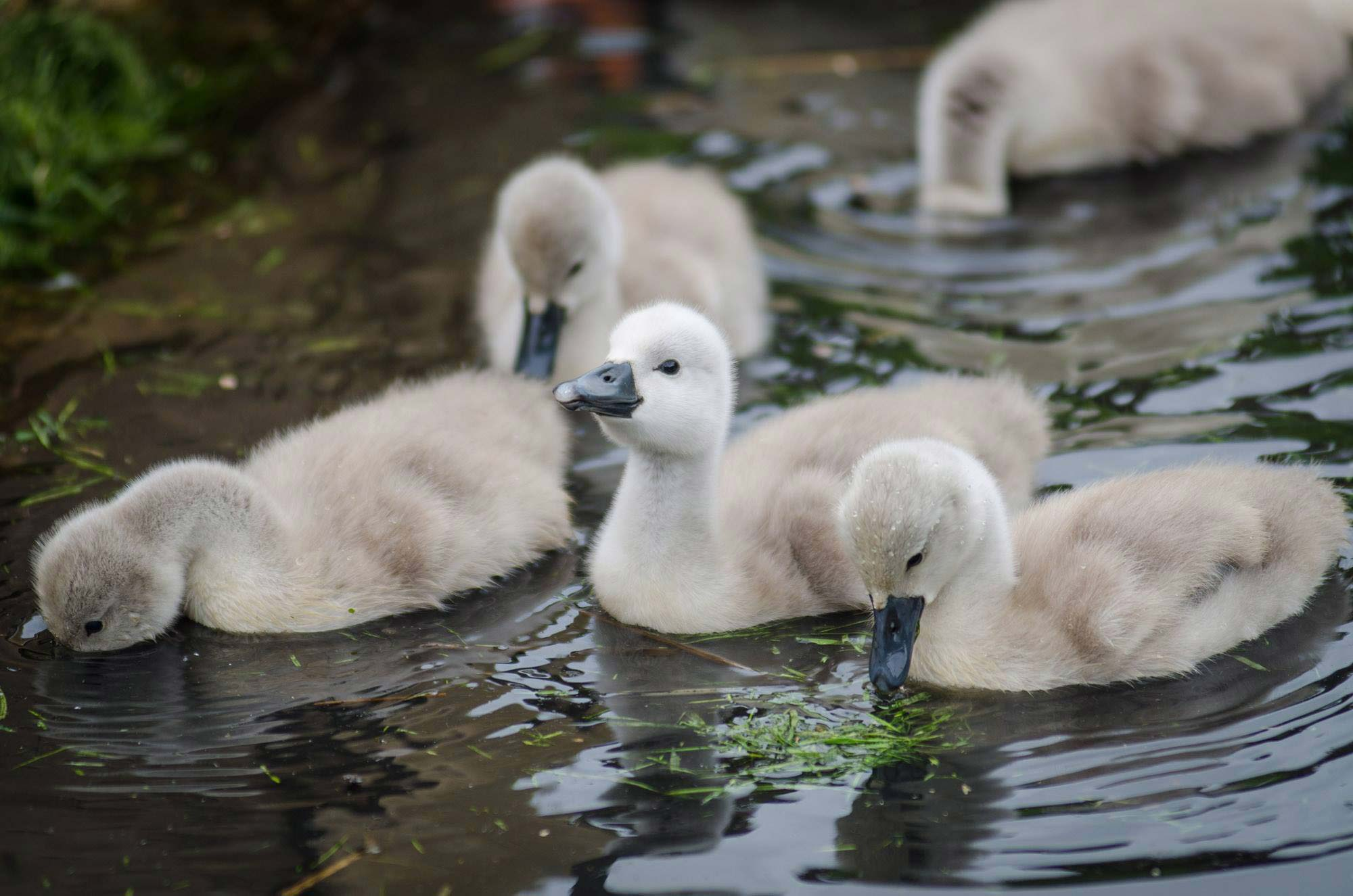 Happy cygnet at Abbotsbury Swannery