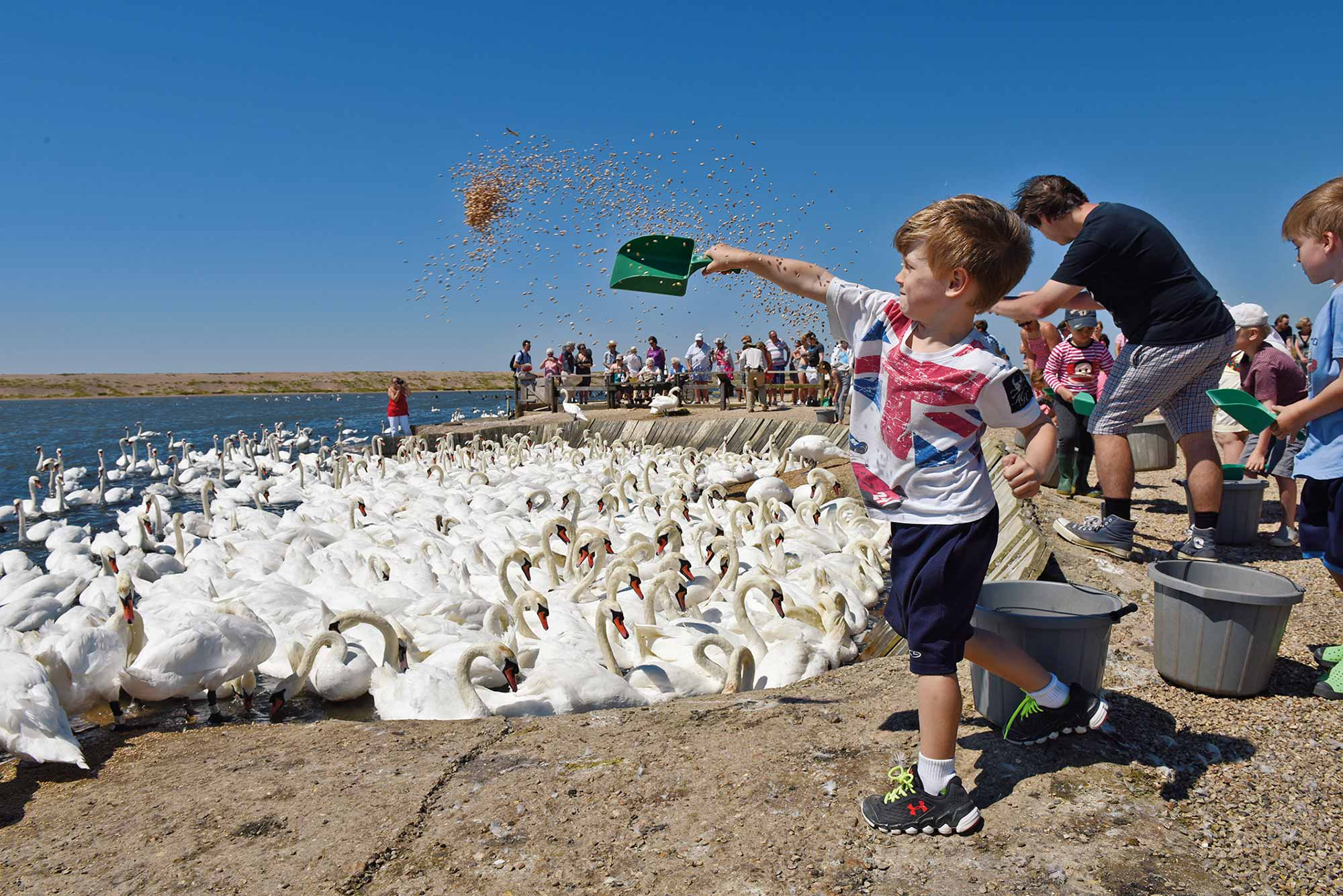 Mass Feeding at Abbotsbury Swannery