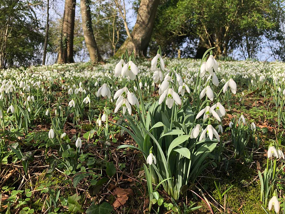 Snowdrop Sundays - 10th & 17th February 2019 At Mapperton House & Gardens