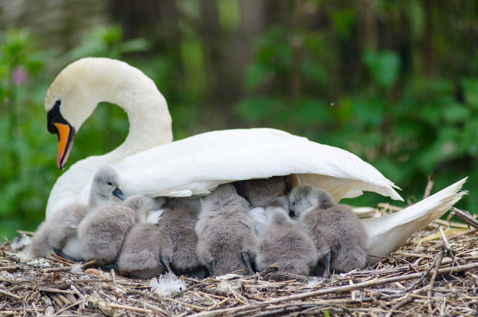 Baby swans shelter under mum's wing at Abbotsbury Swannery