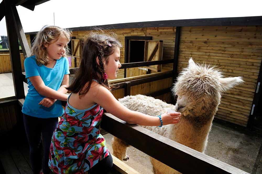 An alpaca at Adventure Wonderland's Cuddle Corner