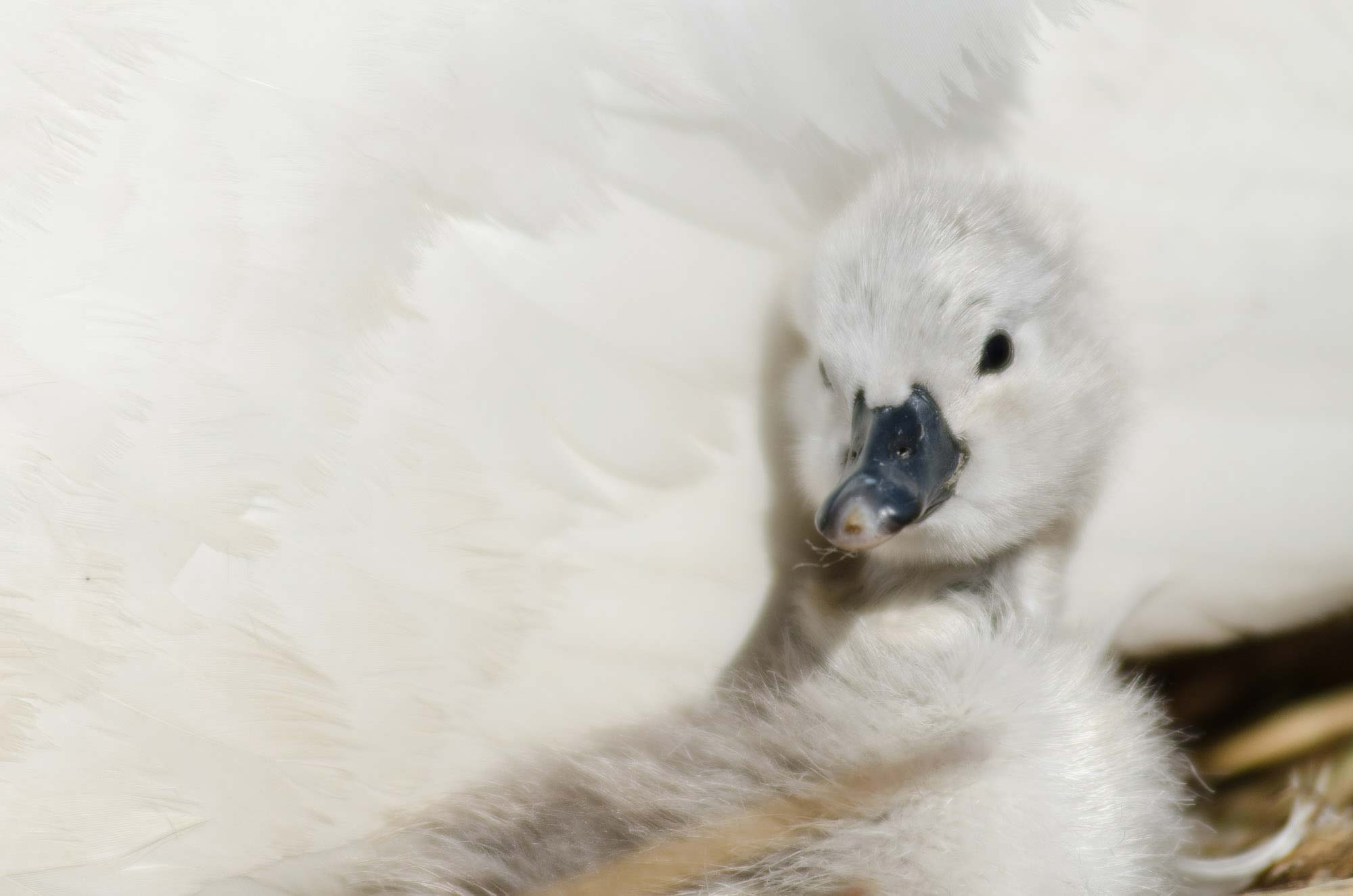 Close up of a cygnet at Abbotsbury Swannery