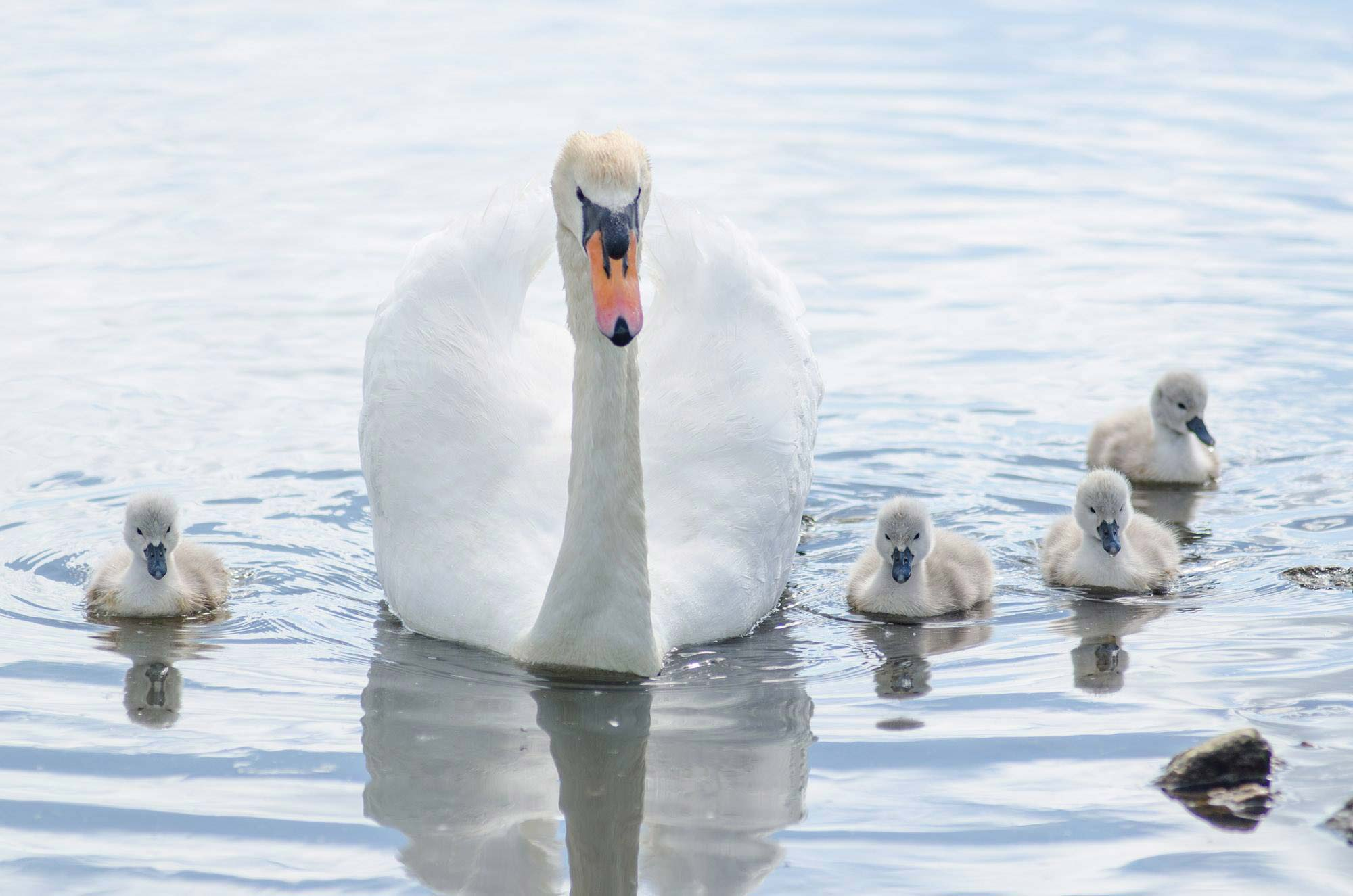 Family of swans on the water at Abbotsbury Swannery