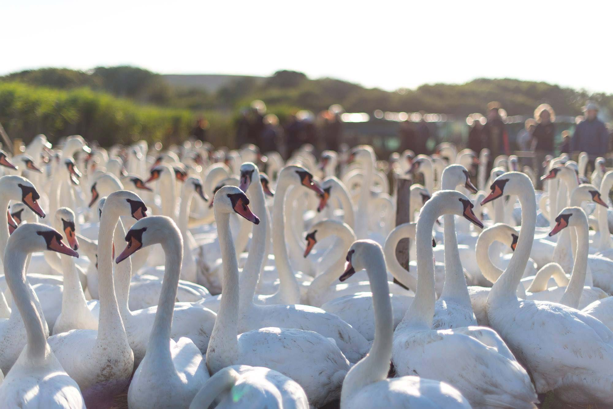 Group of swans early in the morning at Abbotsbury Swannery