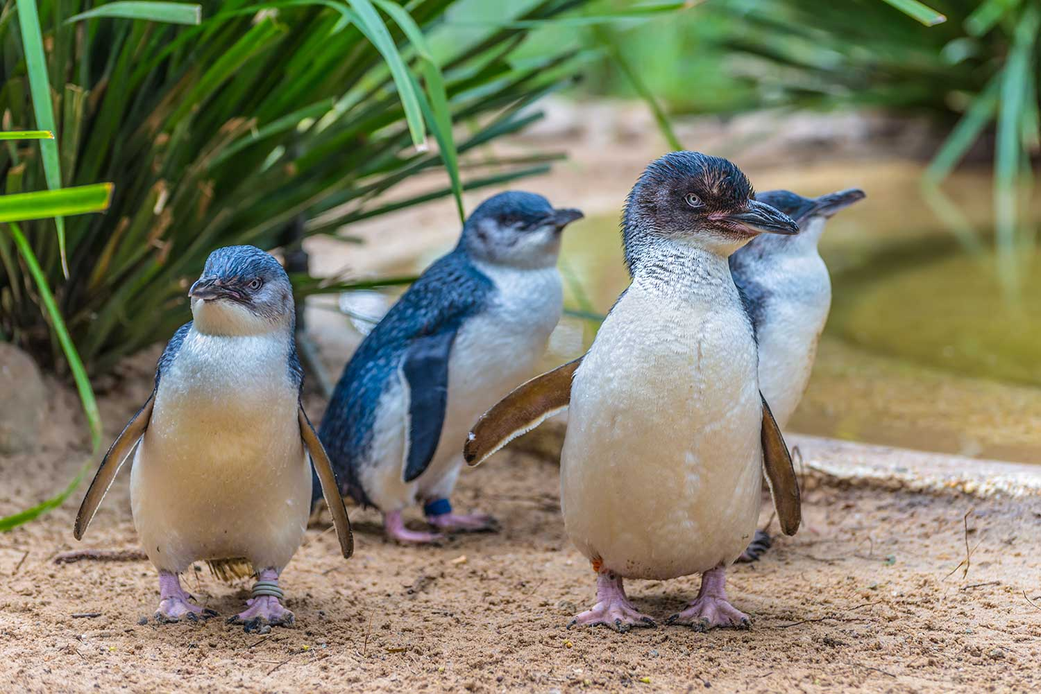 Fairy Penguins are a new addition to SEA LIFE Weymouth