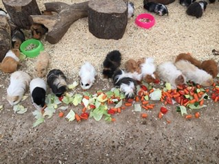 Guinea Pigs At Farmer Palmer's